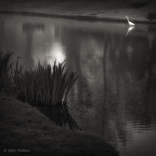town pond egret
