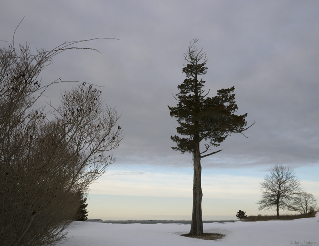 The Old Cedar