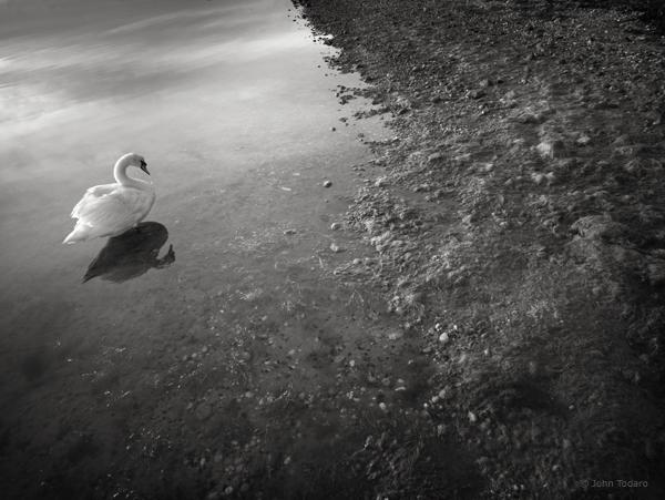Sag Harbor Swan