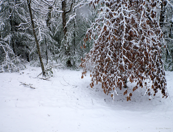 Beech in Blowing Snow