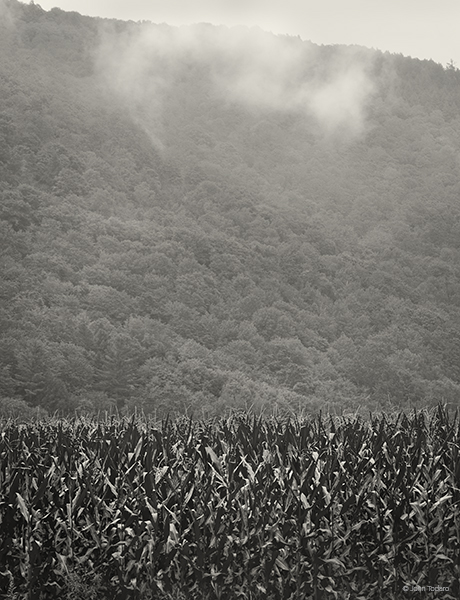 Cornfield•Rising Fog