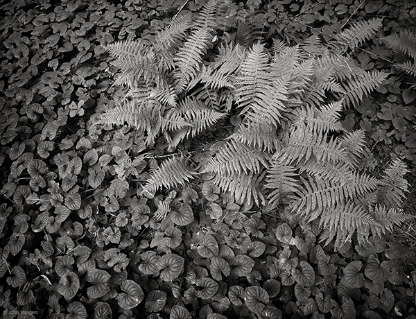 Ferns At Grass Pond