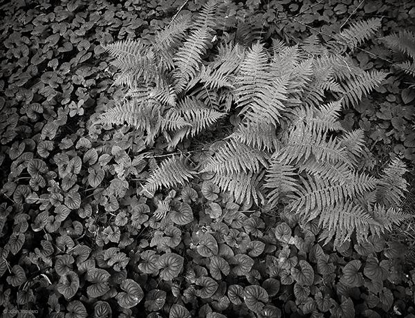 Ferns At Grass Pond