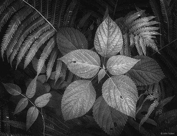 Midsummer Leaves
