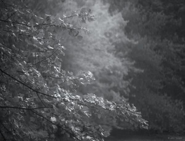 maple-rain