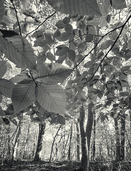beech-leaves-in-sun