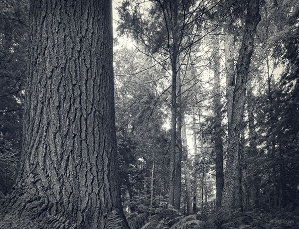 In The Shadows of Old Growth